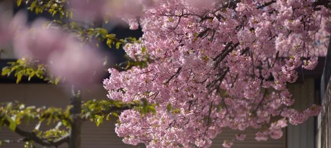 春がそこまで来ています。